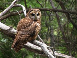 Subadult Spotted Owl by MirMidPhotos