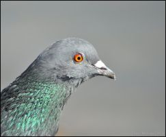 Pigeon Headshot by Somebody-Somewhere