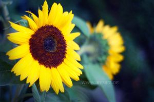 Sunflower by mandragorae