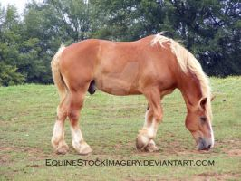 Belgian Draft 1 by EquineStockImagery