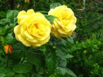 Yellow Rose 1 by Eszies-Eszie