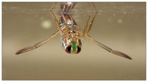 Backswimmer 2 by EdwinBont