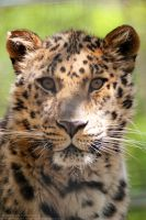 Amur Portrait by 8TwilightAngel8