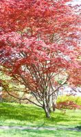 Japanese maple by MagicCometART