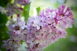 Longing for Lilacs by baileysmomentsintime