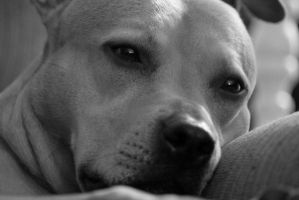 American Pit Bull Terrier Tage by ChickenScratches