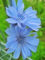 Chicory '02 by gr-unique