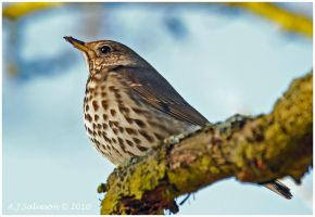 Thrush II by andy-j-s