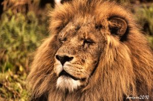 Lion HDR by DanielleMiner