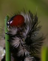 Red eyed Grass eater by jesse-botanical