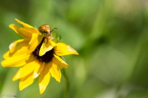 Yellow bug on yellow flower by LordMajestros