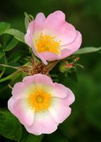 Dog Rose by nectar666