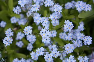 ForgetMeNot. by poeter87