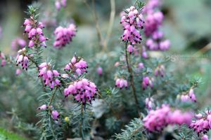 clusters of pink by akthuro