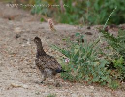 Grouse by melly4260