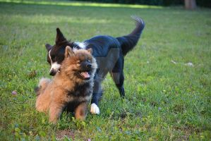 Balto playing with Link, Eurasier puppy by Qualisco
