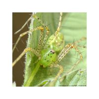 Green Lynx Spider by microcosmos
