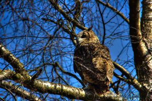 Gonzo the Eagle Owl by linneaphoto