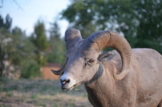 Bighorn Sheep 1 by Art-4-EM