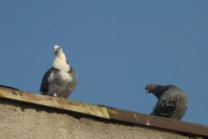 pigeons 8 by deepest-stock