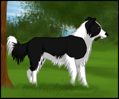 Border Collie by sana-0095