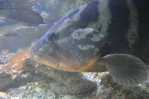 Portrait of Atlantic grouper by A1Z2E3R