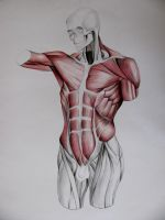 torso muscles study: in front by Infinitely