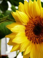 sunflower 4 by theonlysong