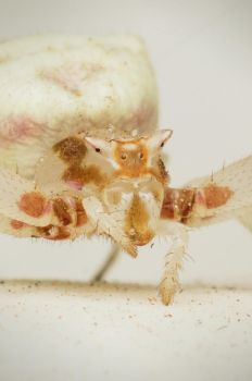 Cropped Crab Spider's face by Kisarisary