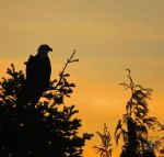Eagle Waiting For Night by wolfwings1