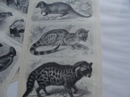 Carnivore Lithographs SOLD by Lot1rthylacine