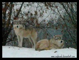 Wolves by caybeach