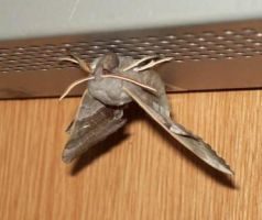 The Laothoe Populi Moth Taken In The Scrapyard 22 by Pho-TasticMathew