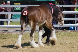 STOCK Canungra Show 2013-189 by fillyrox