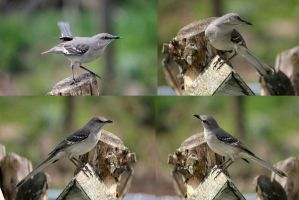Mockingbird Pack 02 by Thy-Darkest-Hour
