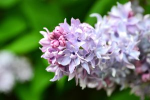 lilacs by passionNdesire