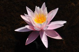 Waterlily 1 by wildplaces