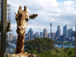 giraffe in the city. by Becca47