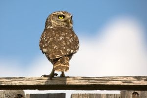 Little Owl by PauloALopes