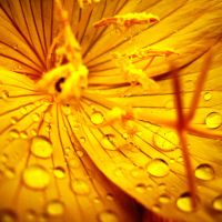 Golden Drops by inacom