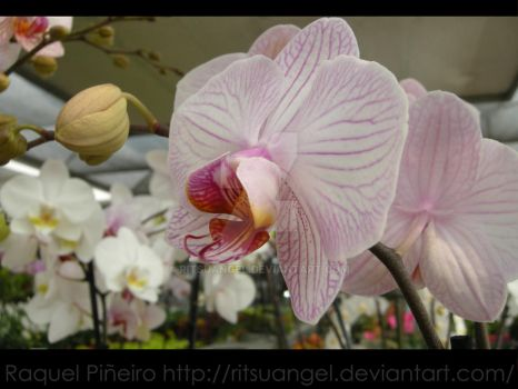 Stained Orchid by RitsuAngel
