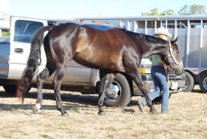 Seal Brown American Quarter Horse by xxtgxxstock