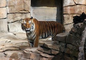 Tiger Stock 1 by GloomWriter