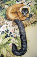 Lemur Watercolor by HouseofChabrier