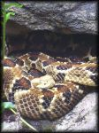 Timber Rattle Snake by eetap