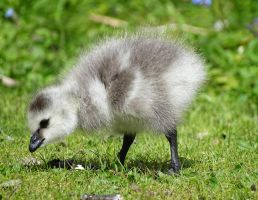 Little goose by AnNacht