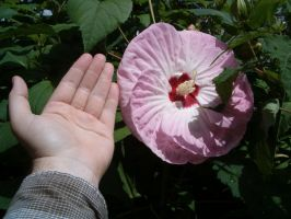 Massive hibiscus flower by Ripplin
