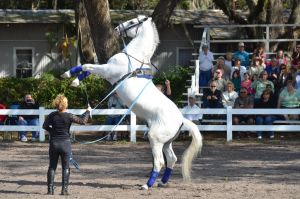 Lipizzaner Stallions 17 by Lauren-Lee