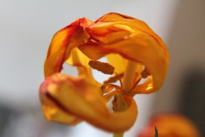 Faded Tulip #5 by deluecksartist