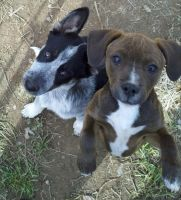 Heeler and Pitbull puppies by echoswag
